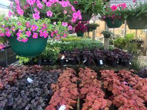 Spring plants hanging baskets perennials
