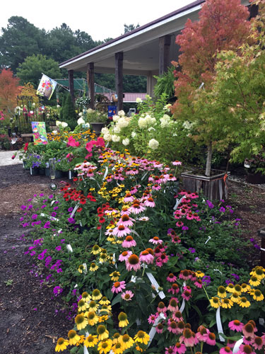 Wave of colorful perennials such as coneflowers and verbena with Japanese Maple