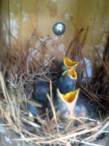 Baby bluebirds in a nesting box