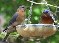 Bluebirds at a feeder