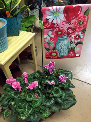 Valentine flag and gift of cyclamen plant