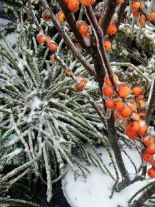 Winter interest plants with berries