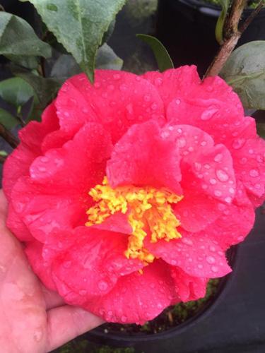 camellia winter blooms