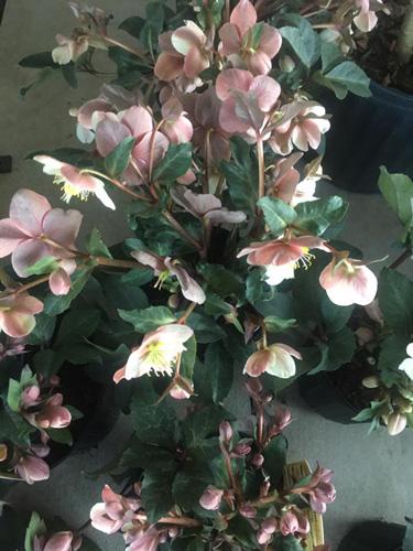winter flowers hellebores lenten rose