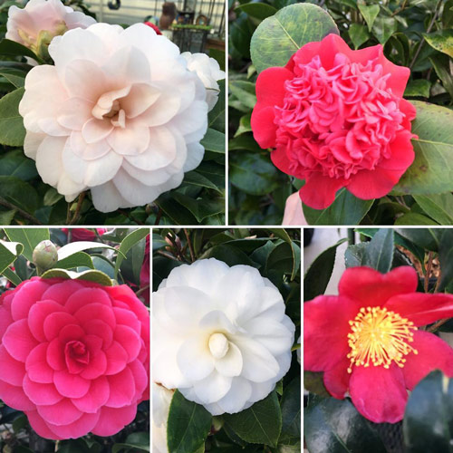 camellias winter flowers colorful evergreen shrub