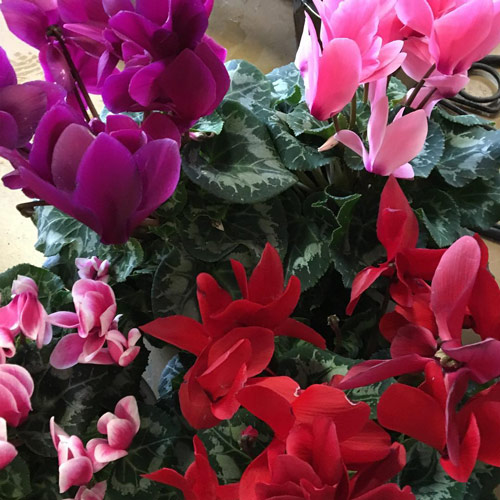 cyclamen blooms magenta pinks red heart-shaped leaves