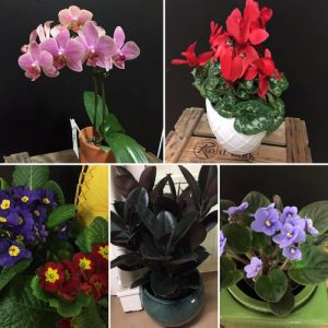 pretty flowering plants in pots ready for gifting