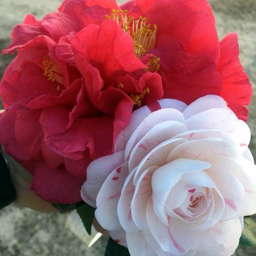 camellia flowers