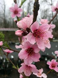 april15-prunus-blooms-1
