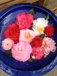 Colorful birdbath camellia blossoms