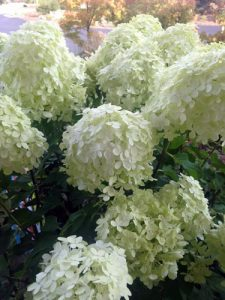 Lime light hydrangea shrub