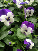 Pansies and violas are in