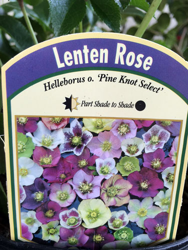Hellebores, aka Lenten Rose