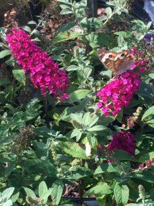 Butterfly bush blossoms attract butterflies