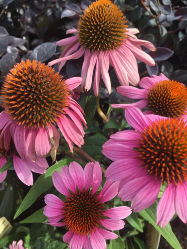 Coneflowers colorful perennials