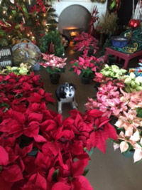 Poinsettias Christmas gifts decorating Bayleaf