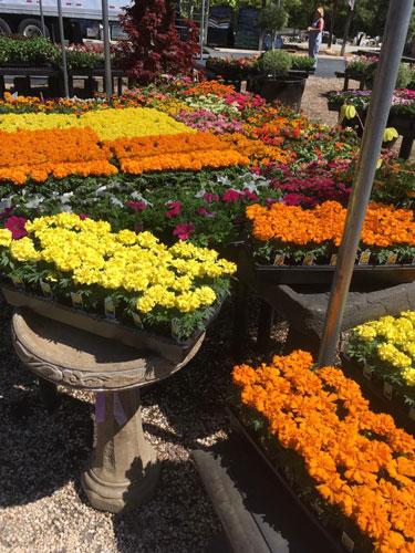 annual flowers marigold