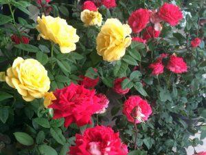 june17-roses-lg