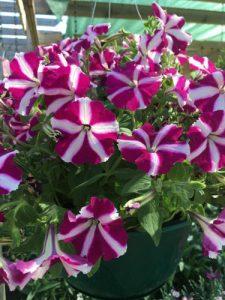 may17-flowers-hangingbasket-lg