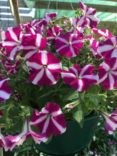 flowers hanging basket