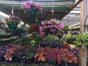 Perennials hanging baskets