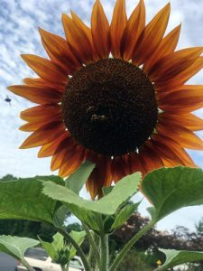 sunflower bees blue sky