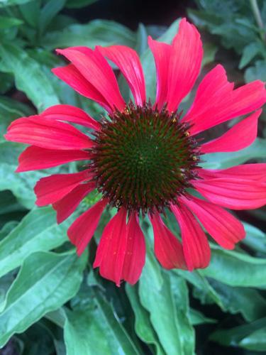 coneflower red