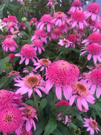 coneflowers pink