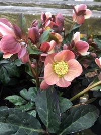 hellebore lenten rose