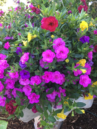 colorful flowers for spring planting in containers or hanging baskets or flower beds