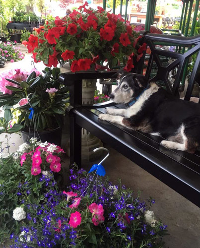 Bayleaf relaxing on bench with flowering hanging baskets