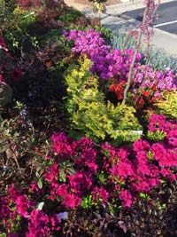 colorful shrubs azaleas evergreens tree
