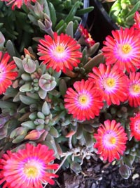 colorful succulent ice plant bedding plant with flowers