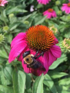 coneflower with bee