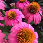 coneflower blossoms