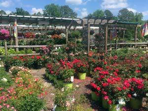 roses_ hanging baskets_ perennials