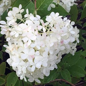 limelight hydrangea blossom