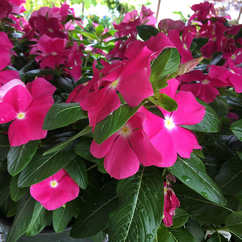 hot pink vinca flowers