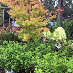 Coral bark Japanese Maple hydrangea shrubs