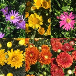 fall mums colorful flowers