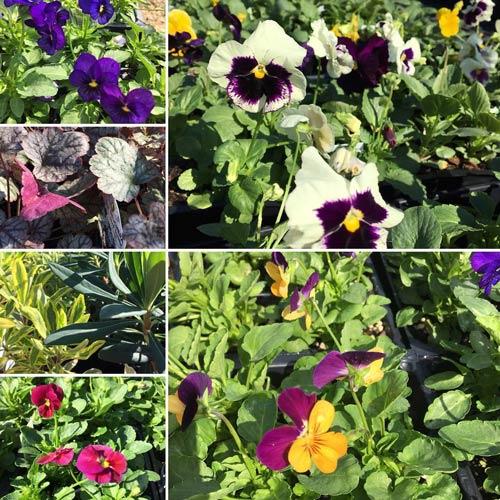 violas pansies euphorbia heuchera fall flowers