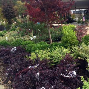 landscape plants japanese maple shrubs