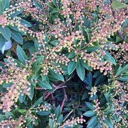 pieris shrub blooms ready to pop