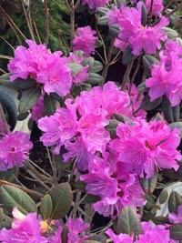 azaelea shrub with flowers