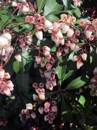 pieris shrubs blooms