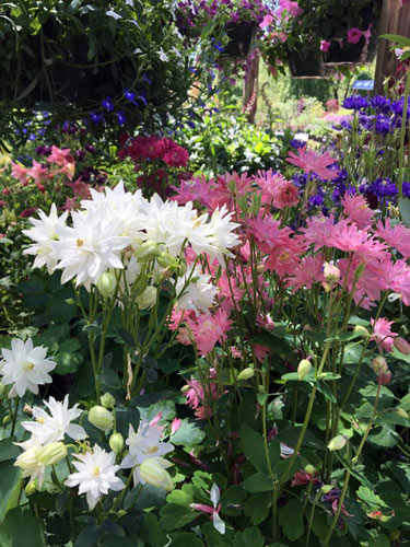 perennials with blossoms of white, pink, purple and magenta