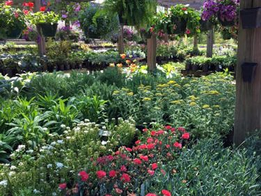 perennials and hanging baskets