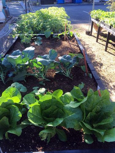 vegeatble garden