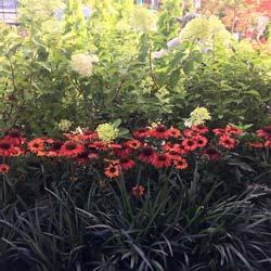 coneflowers and hydrangea shrubs