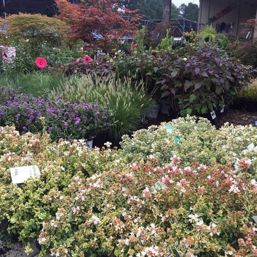 fall landscape plants abelia shrubs, perennial hibiscus, japanese maples and more